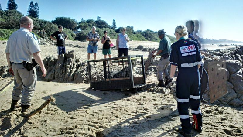 Stranded Seal Rescued From Banana Beach In Kzn Accidents Co Za