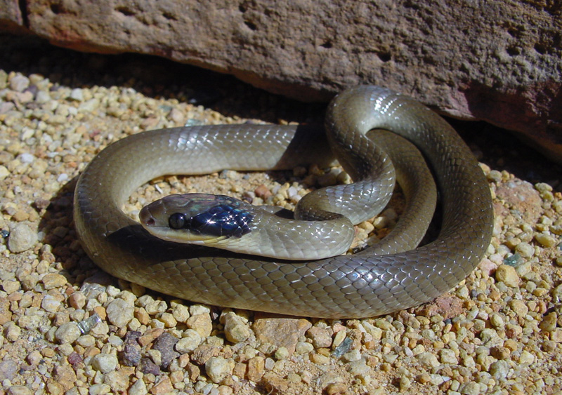 Man treated after he was bitten by Red Lipped Snake at Craigie Burn