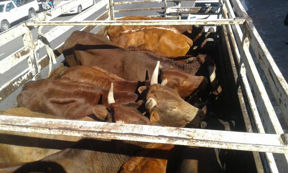 Stock theft suspect arrested and stolen cattle recovered in Limpopo