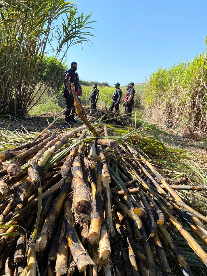 Decomposed body found in a cane field in Canelands - KZN
