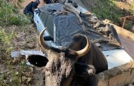 Trapped cow rescued in Trenance Park - KZN